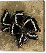 Group Of Butterflies Canvas Print