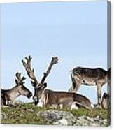 Group Of Caribou Resting On Alpine Canvas Print