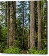 Group Of Redwoods Canvas Print