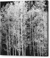 Grove Of Aspen Trees (populus Tremuloides), In Late Afternoon Canvas Print