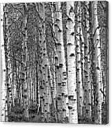 Grove Of Birch Trees Canvas Print