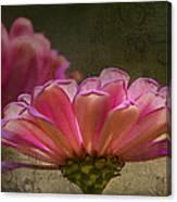Grungey Pink Zinnia Delight Canvas Print