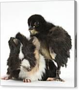 Guinea Pig And Black Bantam Chick Canvas Print
