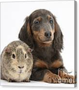 Guinea Pig And Blue-and-tan Dachshund Canvas Print
