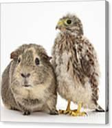 Guinea Pig And Kestrel Chick Canvas Print