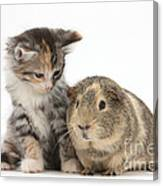 Guinea Pig And Maine Coon-cross Kitten Canvas Print
