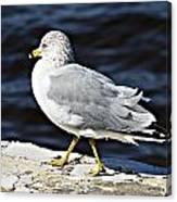Gull 2 Canvas Print