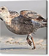 Gull Taking Off Canvas Print