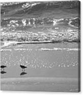Gulls Taking A Walk Canvas Print