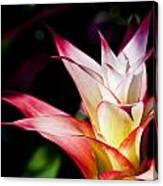 Guzmania Apache Flower Canvas Print