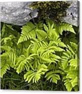 Gymnocarpium Robertianum Canvas Print