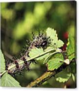 Gypsy Moth Larva Chomp Canvas Print