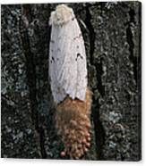 Gypsy Moth With Egg Mass Canvas Print
