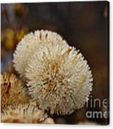 Hairy Aster Canvas Print
