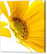 Half Yellow Gerbera Canvas Print