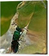 Halicid Bee11 Canvas Print