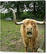 Hamish Highland Bull Canvas Print