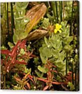 Hampshire Purslane (ludwigia Palustris) Canvas Print