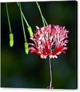 Hanging Coral Hibiscus Canvas Print