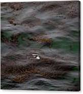 Harbor Seal In Kelp Bed Canvas Print