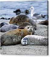 Harbor Seal Phoca Vitulina Mother Canvas Print