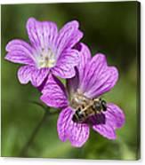 Hardy Geranium And Honey Bee Canvas Print
