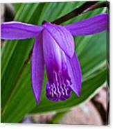 Hardy Orchid 1 Canvas Print