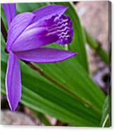 Hardy Orchid 3 Canvas Print