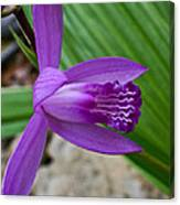 Hardy Orchid 5 Canvas Print