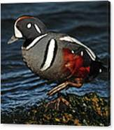 Harlequin Duck Canvas Print