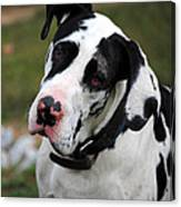 Harlequin Great Dane Canvas Print