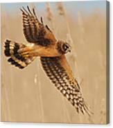 Harrier Over Golden Grass Canvas Print