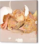 Hatching Chicken 19 Of 22 Canvas Print
