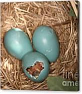 Hatching Robin Nestlings Canvas Print
