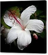Hawaiian White Hibiscus Canvas Print