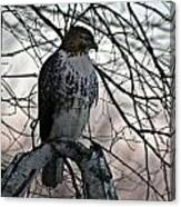 Hawk 6 Canvas Print
