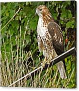 Hawk At A Wedding Canvas Print