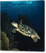 Hawksbill Sea Turtle Swimming Canvas Print