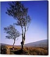 Hawthorn Trees In Sally Gap, County Canvas Print