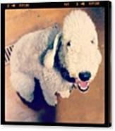 He Looks Like A Sheep! Lol 🐶 Canvas Print