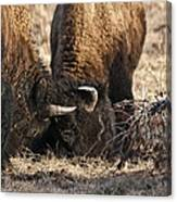 Head Butting Bison Canvas Print