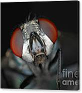 Head Of Green Blow Fly Canvas Print