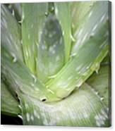 Heart Of An Aloe Canvas Print