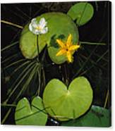 Heart-shaped Water Lily Canvas Print