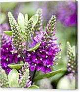 Hebe Hebe Sp Dona Diana Variety Flowers Canvas Print