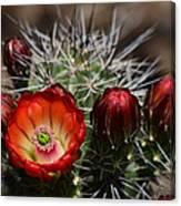 Hedgehog Cactus Flowers  Canvas Print