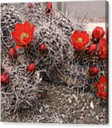 Hedgehog Cactus With Red Blossoms Canvas Print
