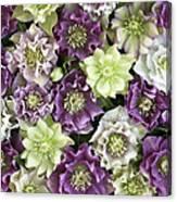 Hellebore Helleborus Sp Flowers Canvas Print