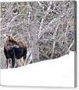 Hello Moose Canvas Print