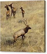 Herd Bull Canvas Print